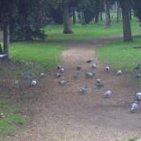 Piccioni al parco