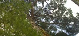 Il pino di via Pompeo Magno 10 A