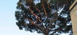 Il pino di via Pompeo Magno, o di Bernhard - copyright Barbara Ledda